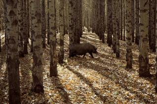 espinosa-art-photo_pig-trees