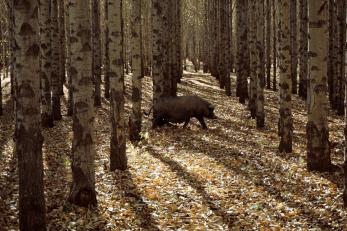espinosa-art-photo_pig-trees